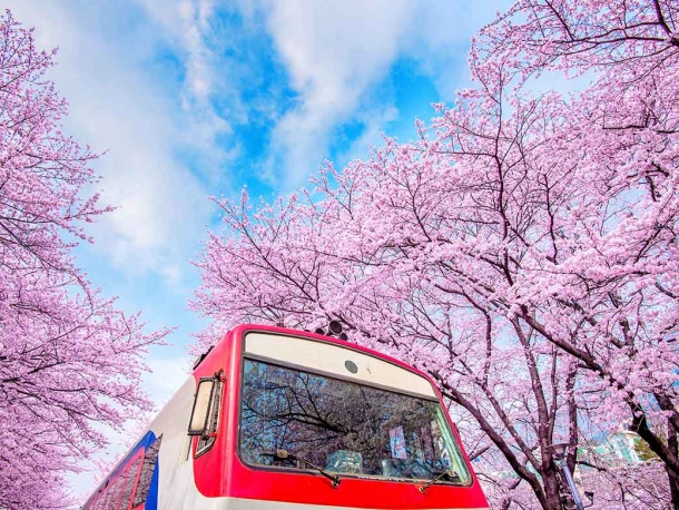 Korea spring sensation with CHERRY BLOSSOMS